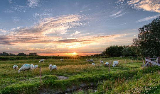 A field of sheep and the sun is setting in the middle of the photo.